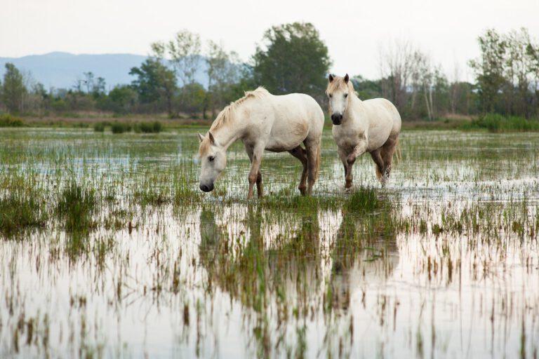 Mød Camargue hesten: Den løber (næsten) vildt i marsklandet