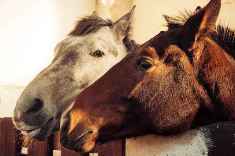 Bevidsthed: Kan heste tænke, føle og vise empati?