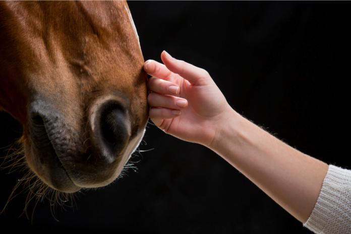 Hånd på hestens mule