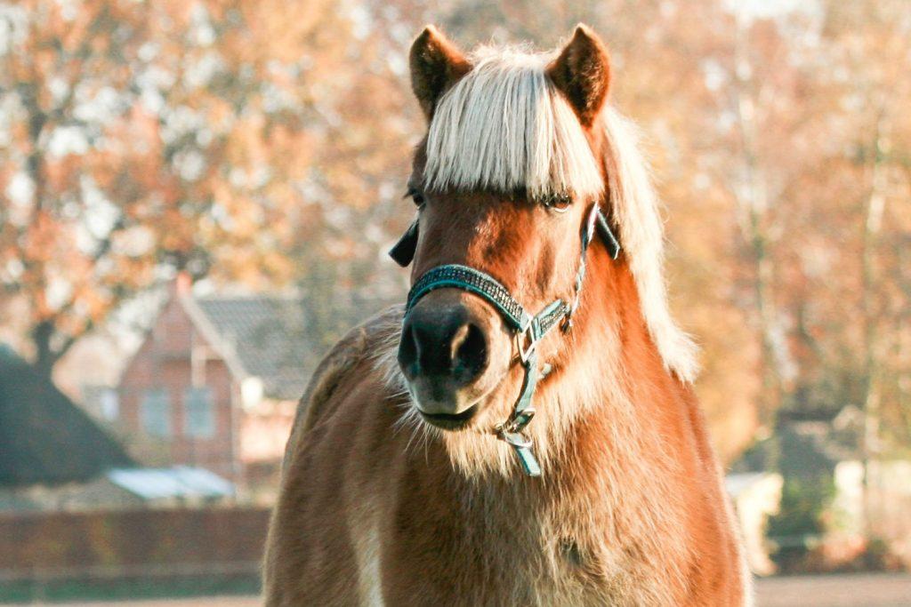 separationsangst_pony_vrinsk_opmærksom