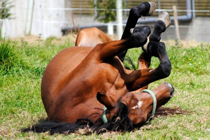 Hest ruller sig på fold.