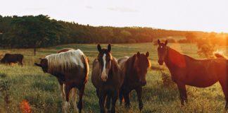 hest_sommer_flok_græs