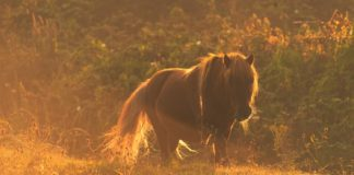 Sommergræs_pony