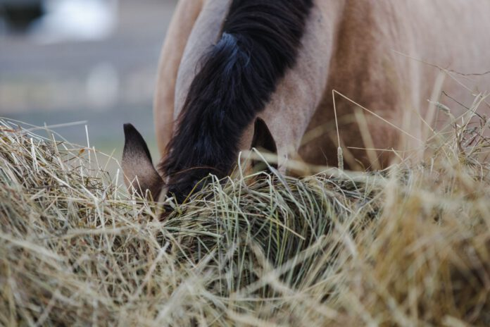 Hest spiser hø