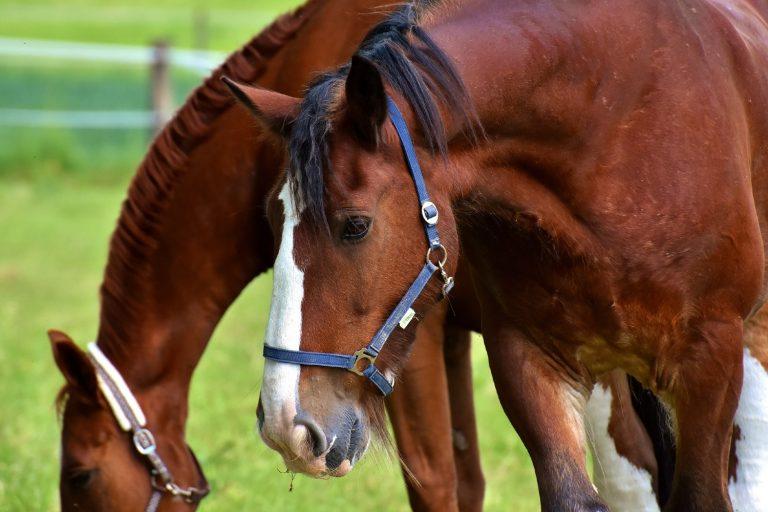 Mangler din hest energi ved pelsskifte?