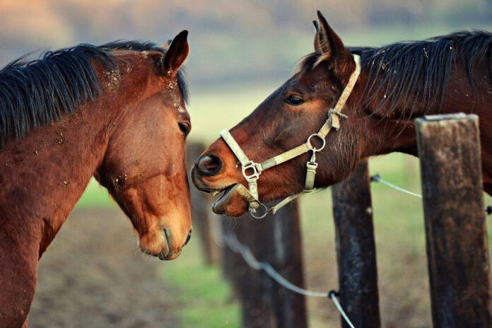 Heste leger på fold