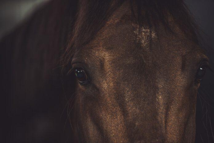 hest kigger
