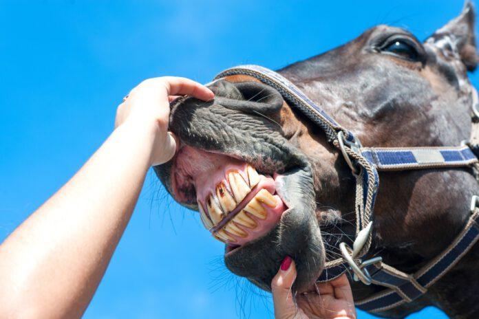 Hestetænder