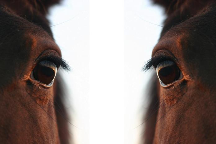 Pain face når di hest har ondt