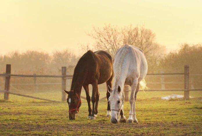 Hesteracer på fold