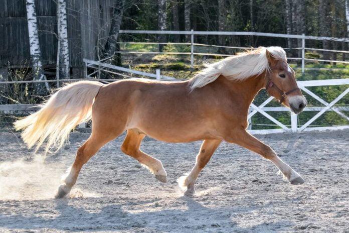 hest løber på ridebane og har separationsangst