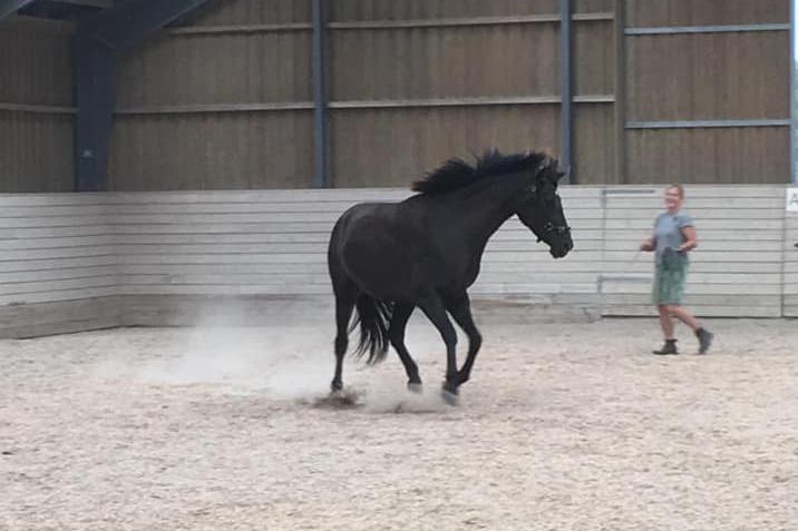 brun hest leg på travbane