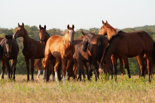 Heste som går i flok.