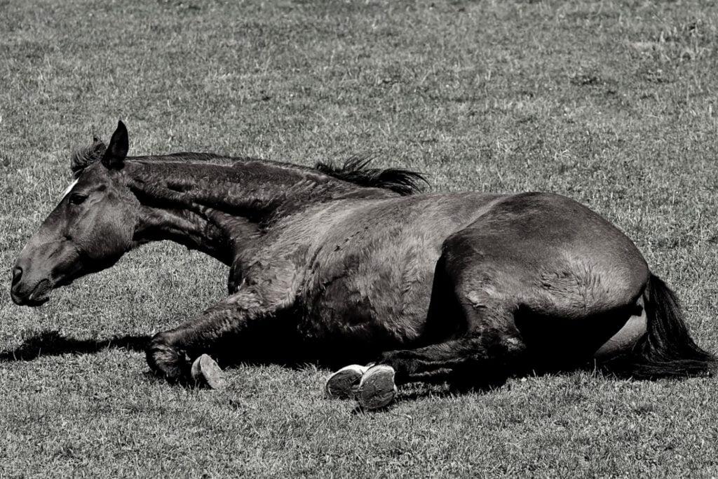 Hest ruller sig på grund af kolik
