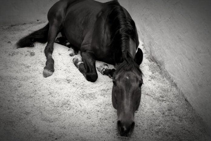 Hest ligger i boks med kolik