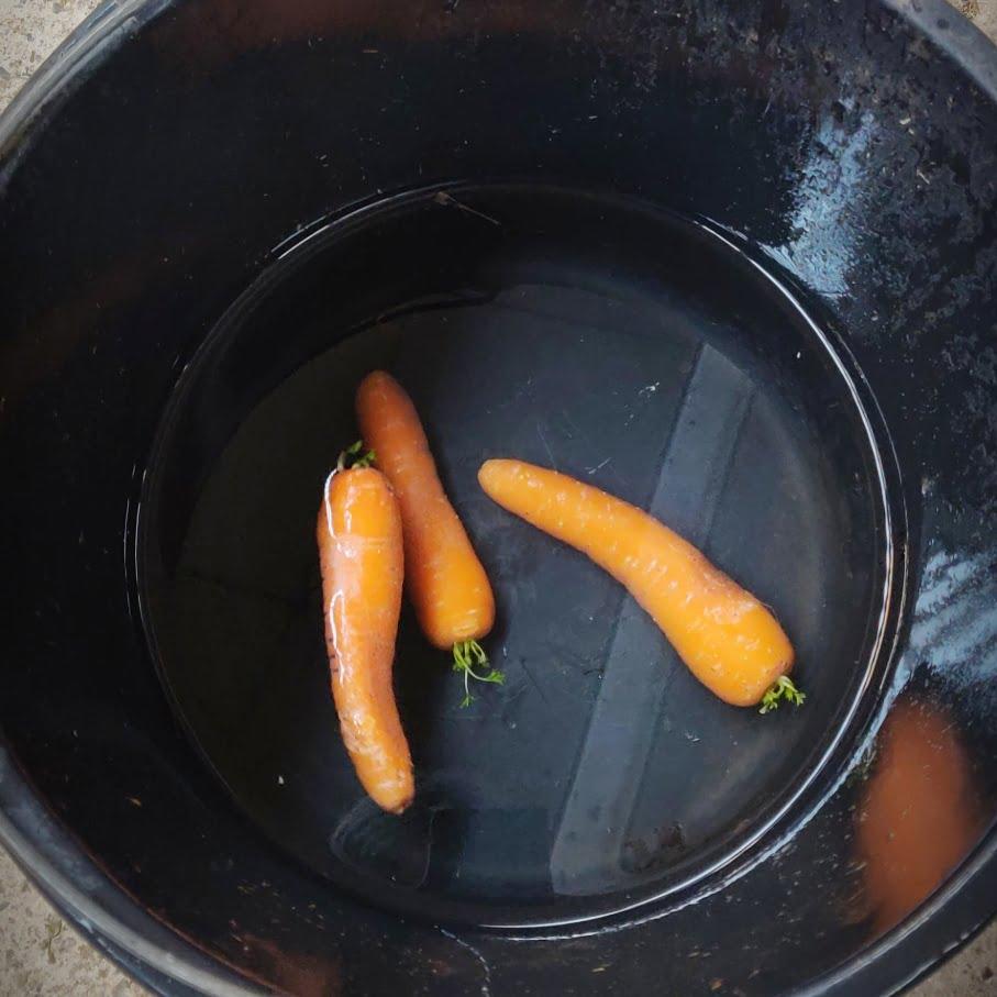 Gulerødder i spand med vand