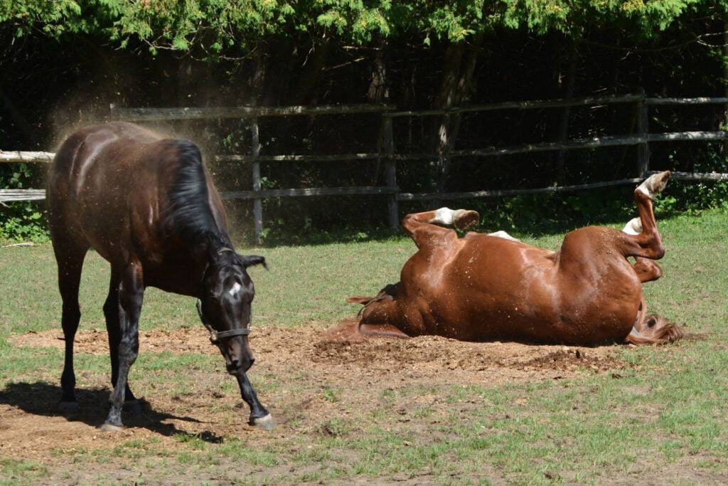 Heste ruller sig på fold