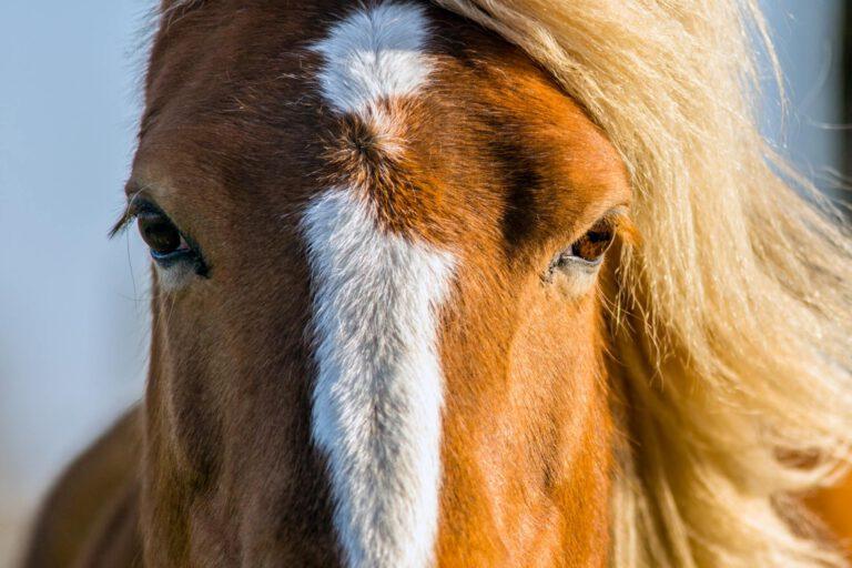 Forskere mener, at hestes hvide aftegn er menneskets skyld