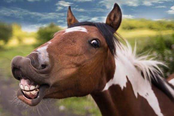 Hestens tænder
