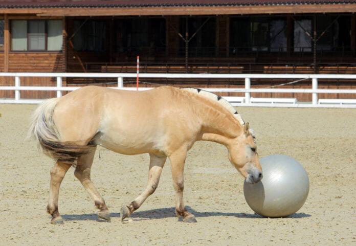 Miljøtræning med fjordhest og bold