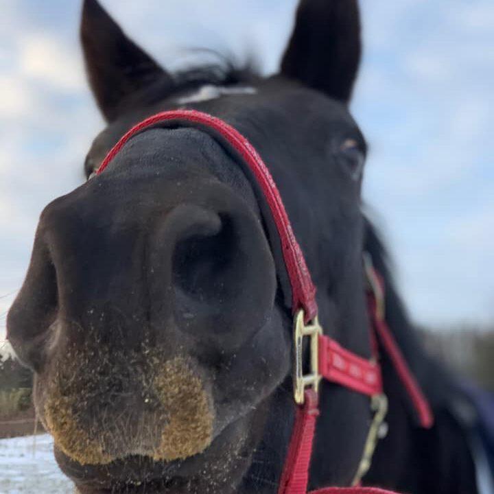 Sort hests mule