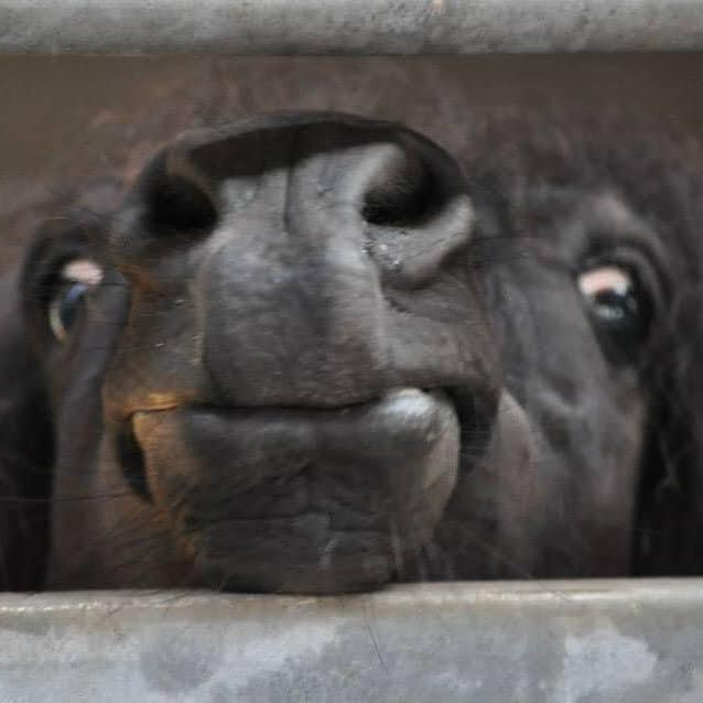 Mule på pony