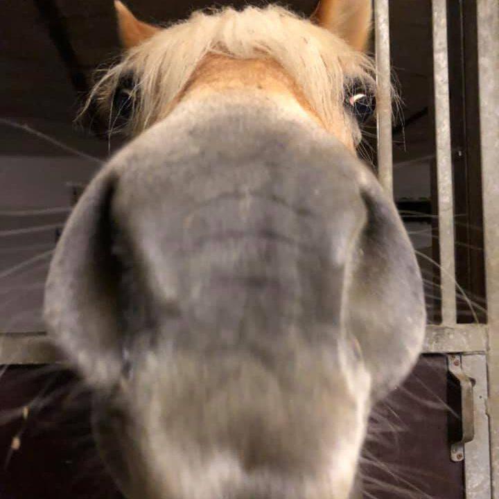 Haflingers mule