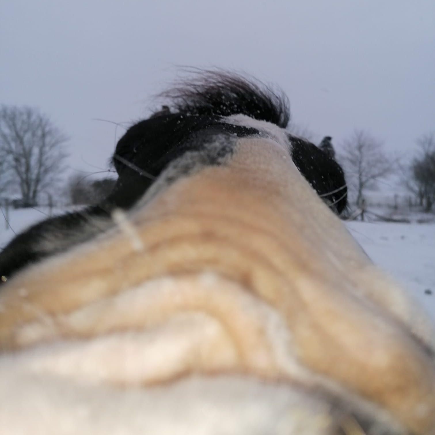 Irish cobs mule