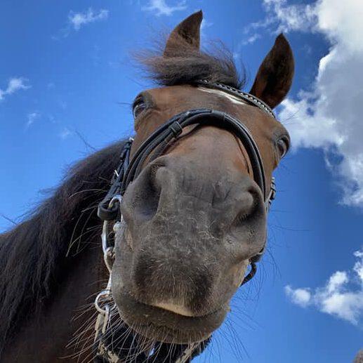 Ponys mule i solskin