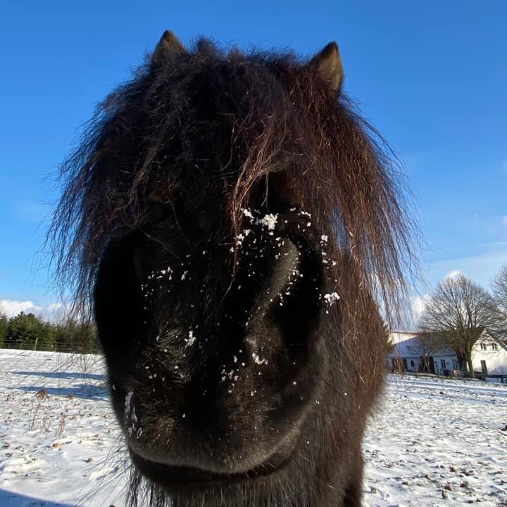 Islænders mule