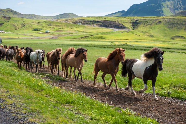 Den islandske hest: Den alsidige og venlige ridehest