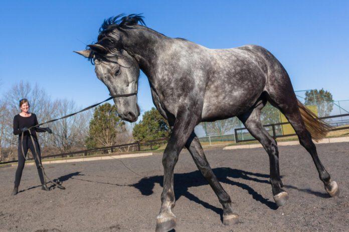 Hest longeres efter ridepause