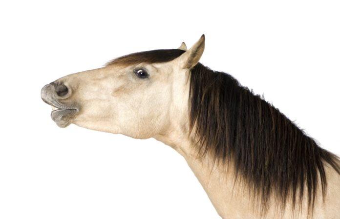 Talende hest