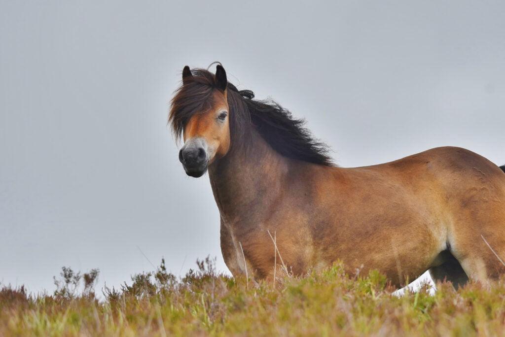 Exmoorpony er en udrydningstruet hesterace.