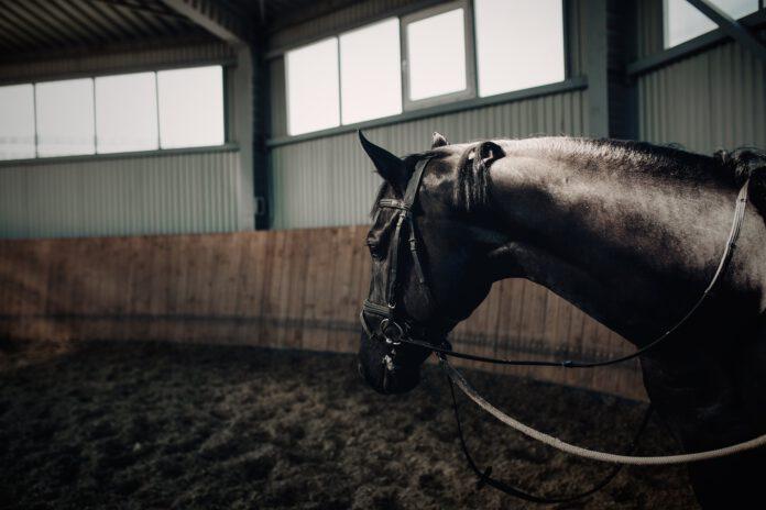 sort hest