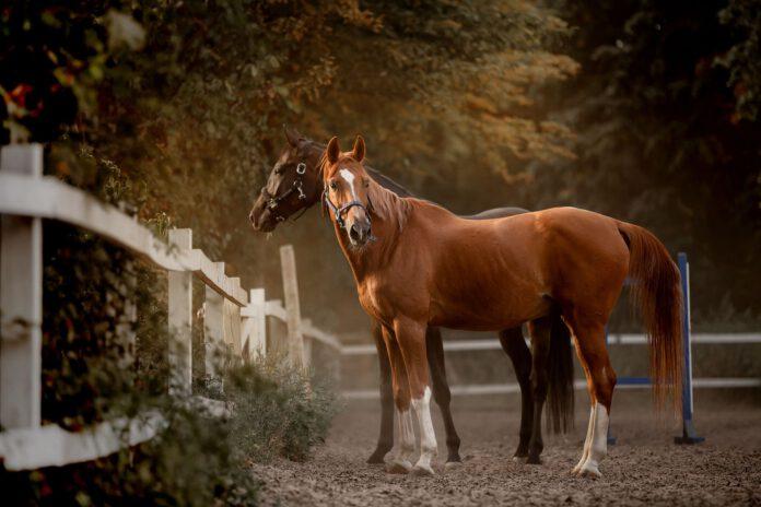 Kropsholdning hest