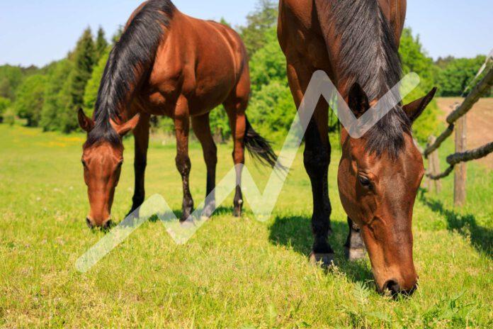 indgræsning af heste på fold