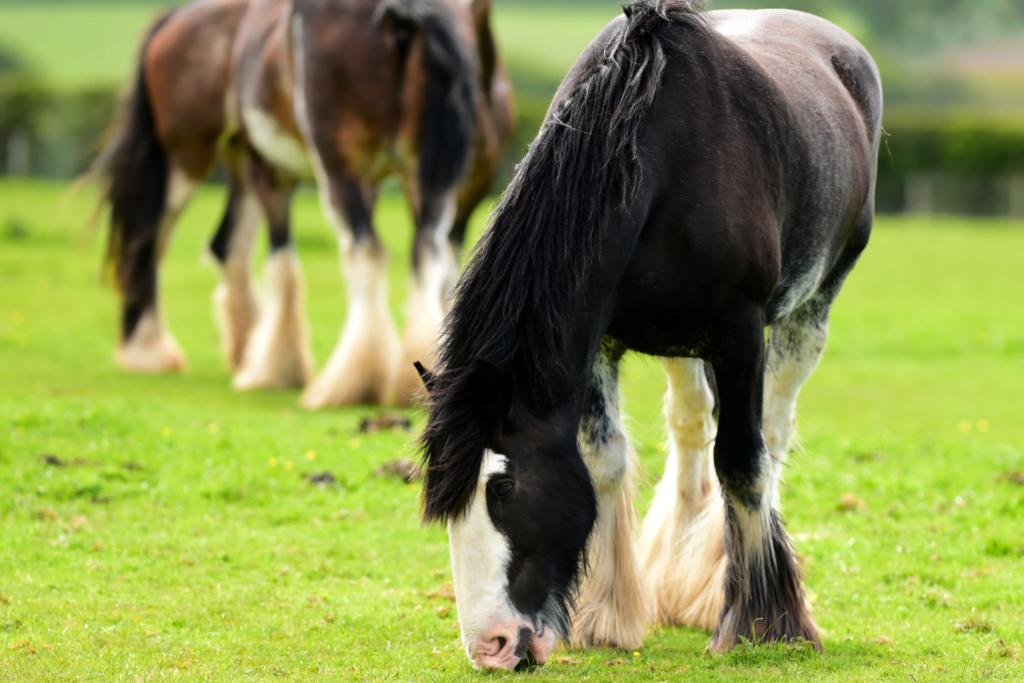 Clydesdale er en udrydningstruet hesterace.