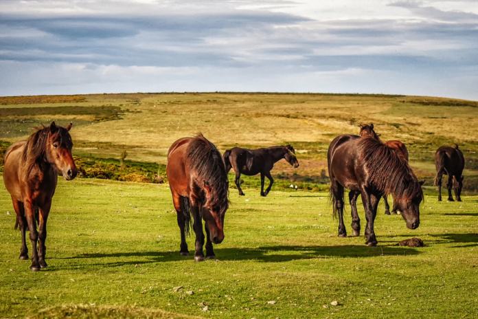 Dartmoorponyerne er en af de udrydningstruede hesteracer.