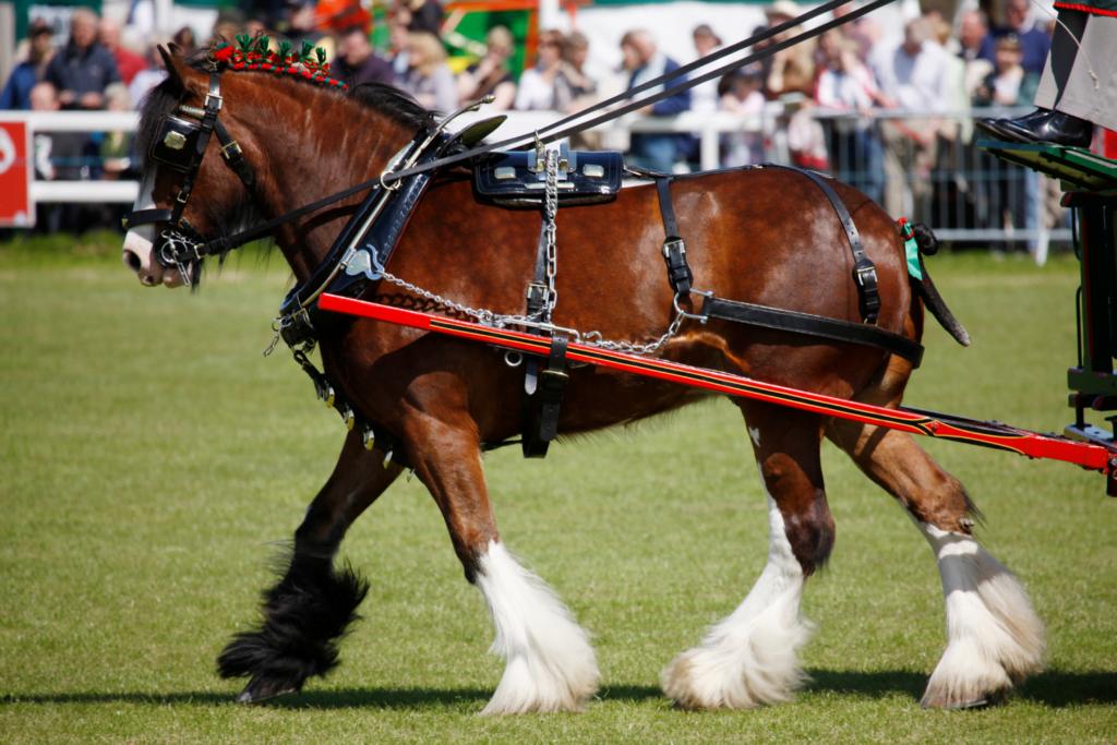 Shire er en udrydningstruet hesterace.