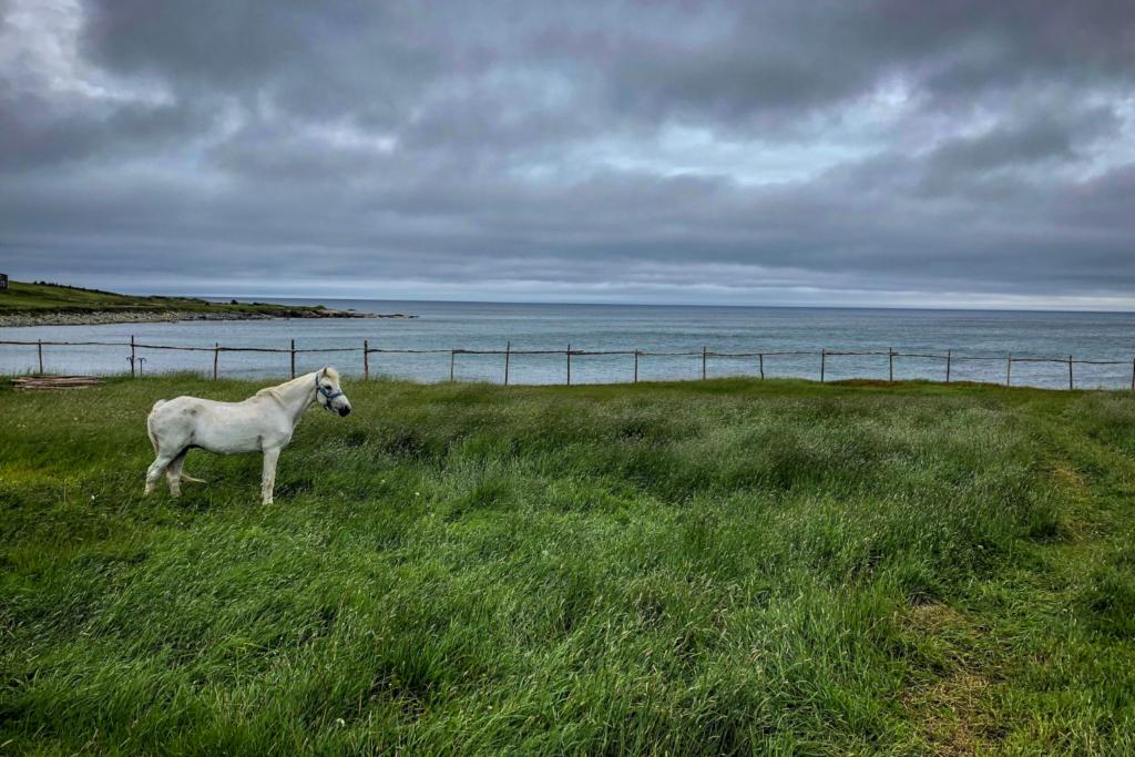 Newfoundlandponyen er en udrydningstruet hesterace.