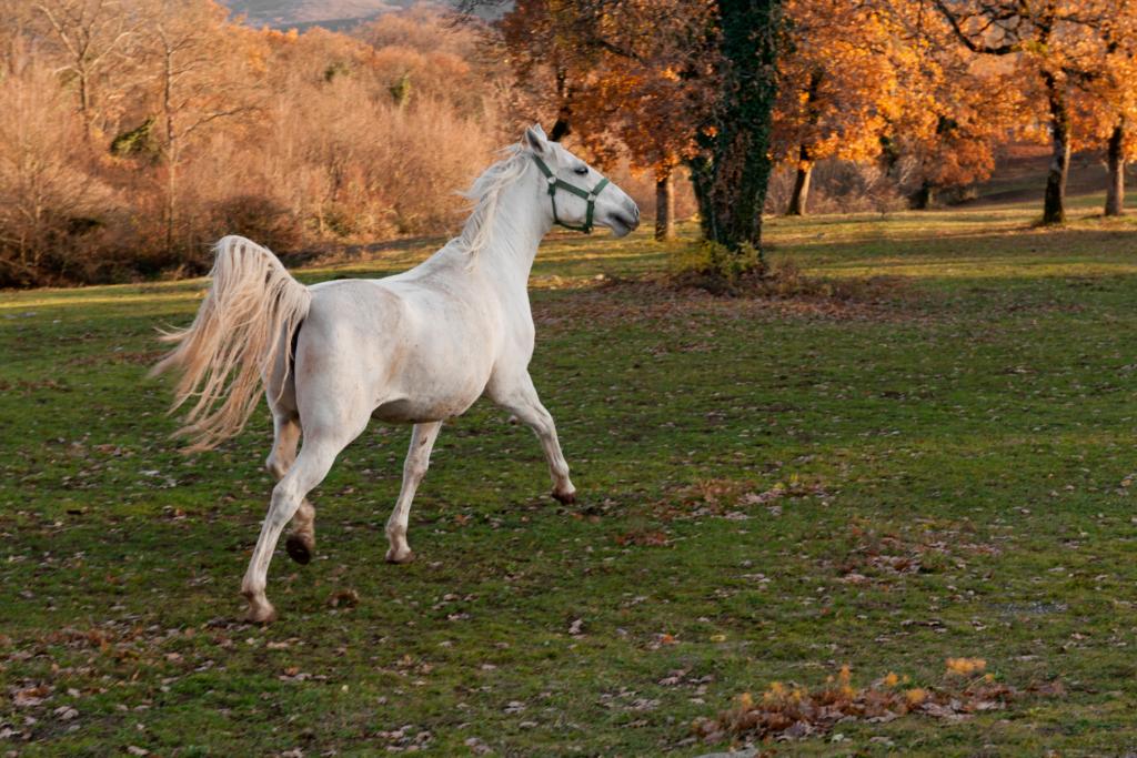 Lipizzaner er en udrydningstruet hesterace.