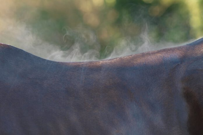 når det er varmt skal man huske at køle hesten ned