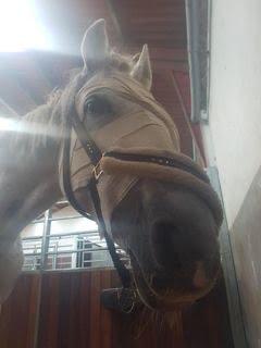 Hest med grå stær og amputeret øje