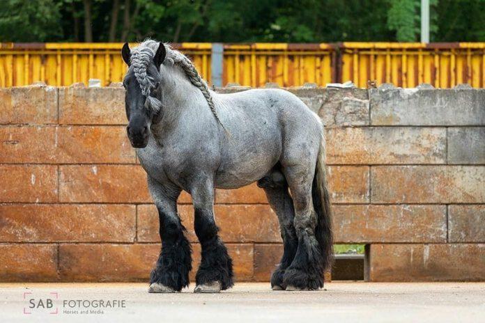 Hollandsk draft horse