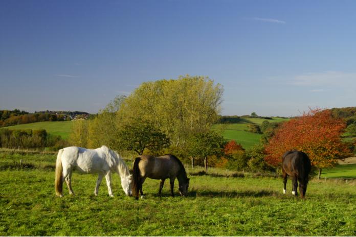Heste på fold om efteråret