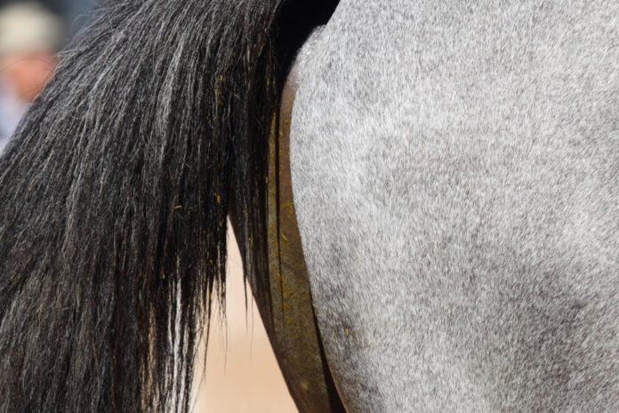 hestens hale