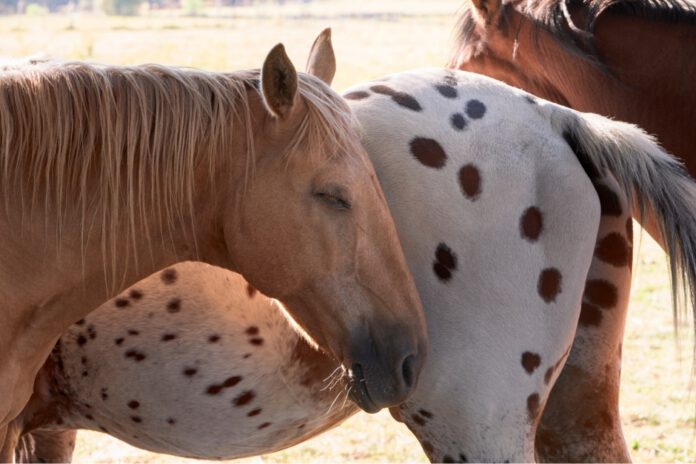 hest sover med kammerater