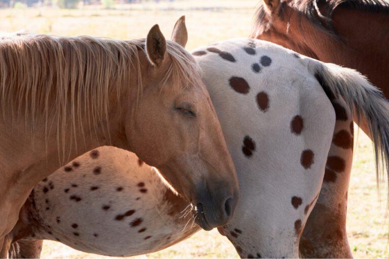 Sover din hest nok? Mangel på den dybe søvn kan være skadeligt