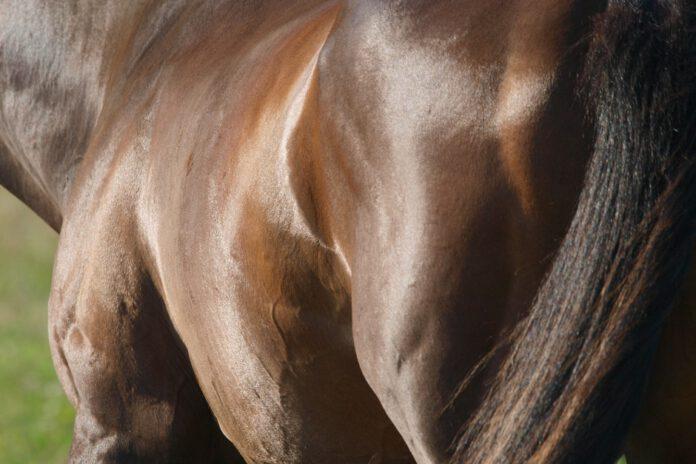 Hestekrop